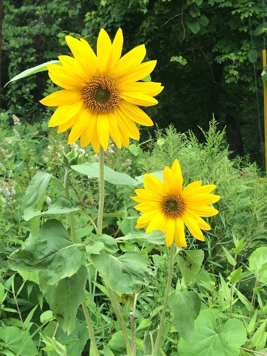 Sunflower, Nature, Flower, Yellow, Plant, Blossom