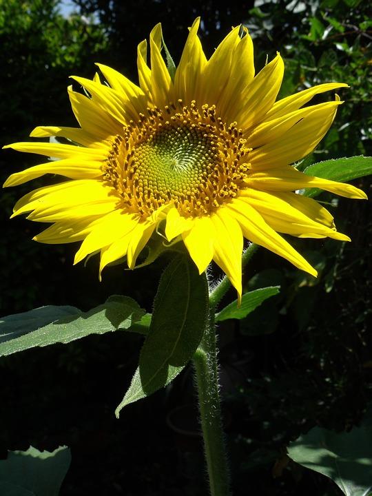 Nature, Flora, Flower, Garden, Sunflower, Closeup