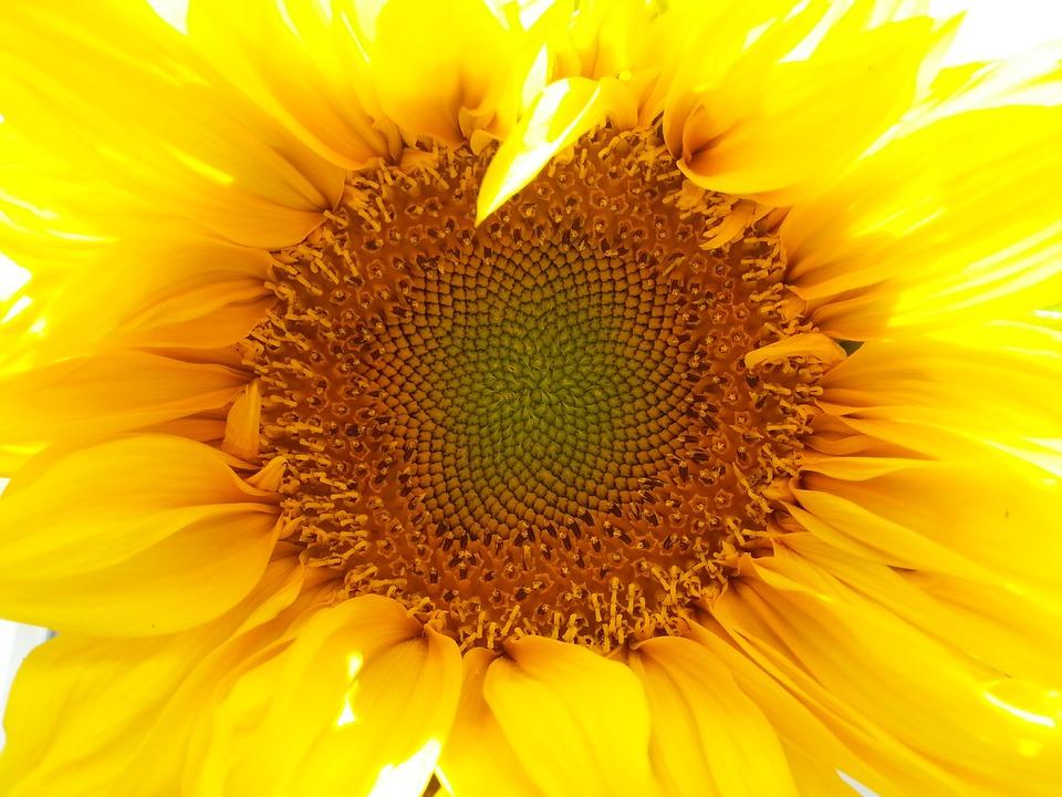 Sunflower, Nature, Mobile