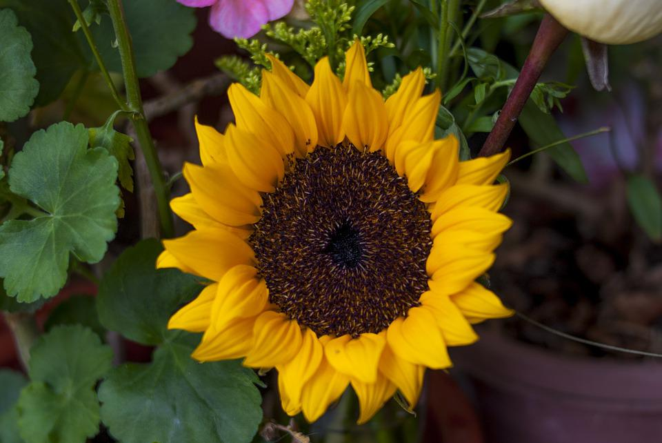 Sunflower, Plant, Flower, Nature, Leaf, Summer
