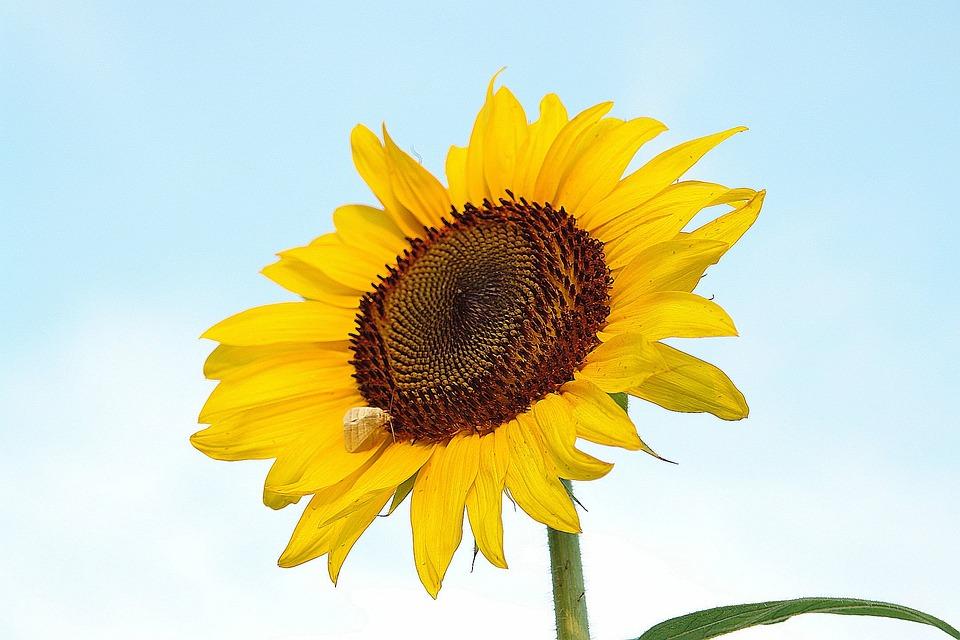 Sunflower, Yellow, Nature, Flower, Summer, Plant