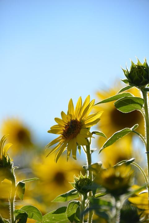 Sunflower, Flowers, Summer, Nature, Flora, Yellow