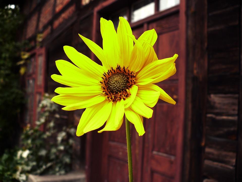 Sunflower, Old Building, Poland, Flower, Summer, Plant