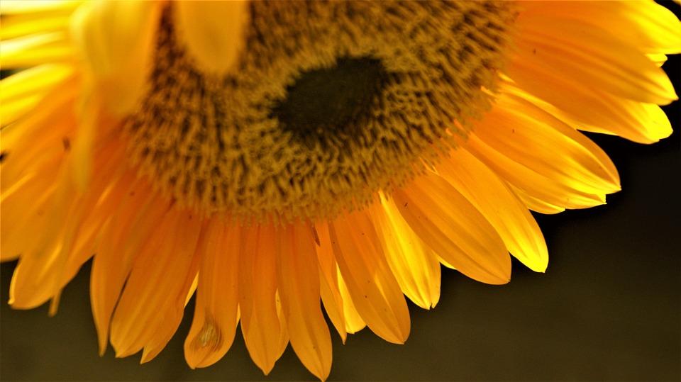 Sunflower, Beauty, Background, Petals, Vegetable