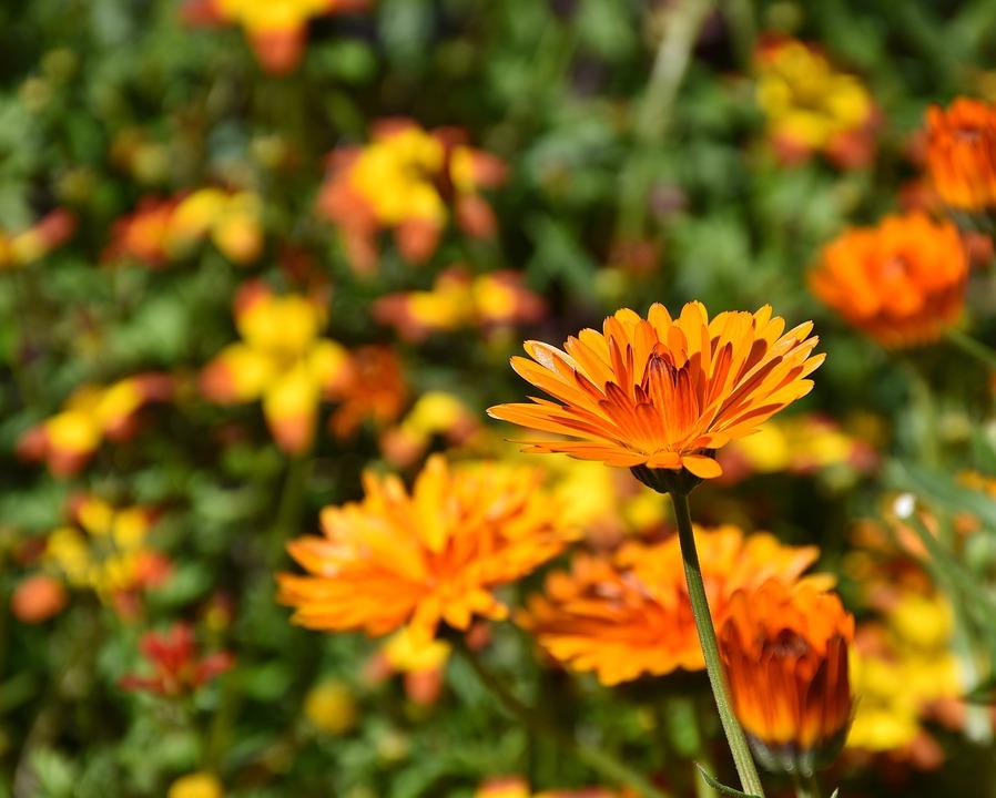 Flowers, Sunflower, Plant, Colorful, Petals, Bloom