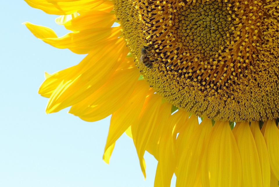 Bee, Sunflower, Plant, Summer, Yellow