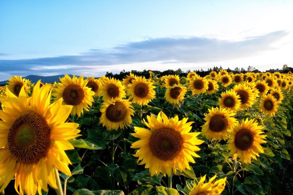 Sunflower, Yellow, Flowers, Flora, Sun Flower, Plant