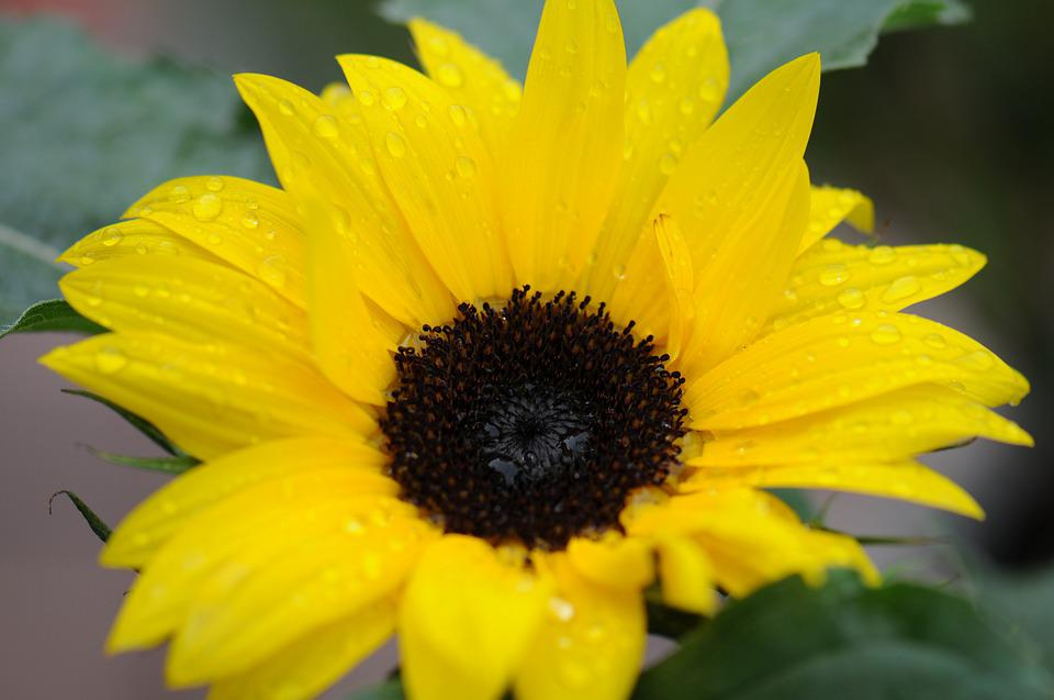 Macro, Flower, Nature, Drop, Rain, Yellow, Sunflower