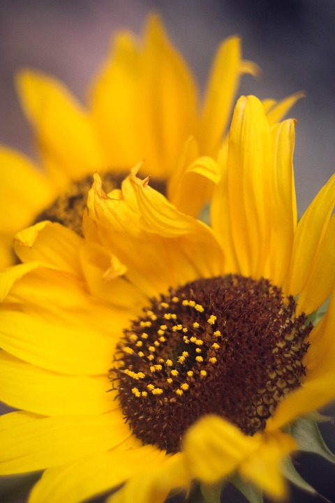 Flower, Sunflower, Summer, Bright, Large, Summer Cvey
