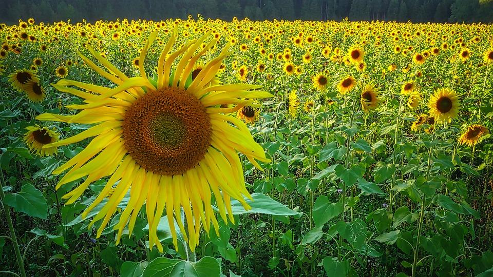 Sunflower, Field, Yellow, Nature, Summer, Flower