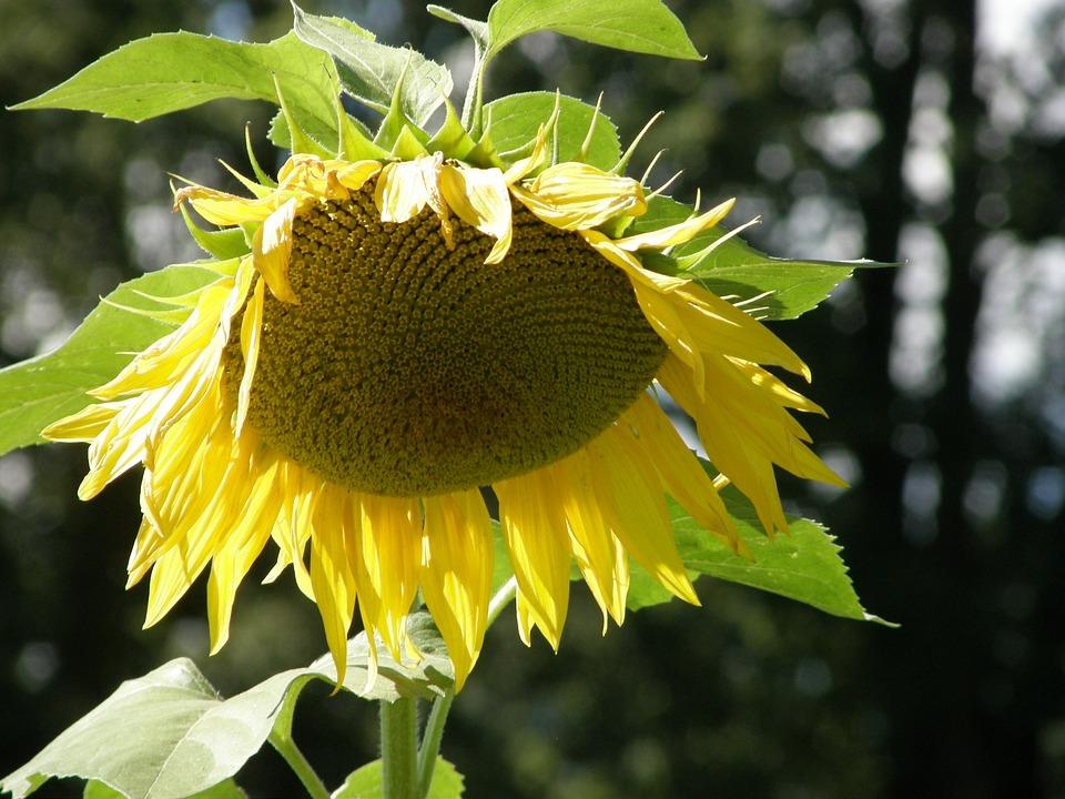 Sunflower, Sun, Flower