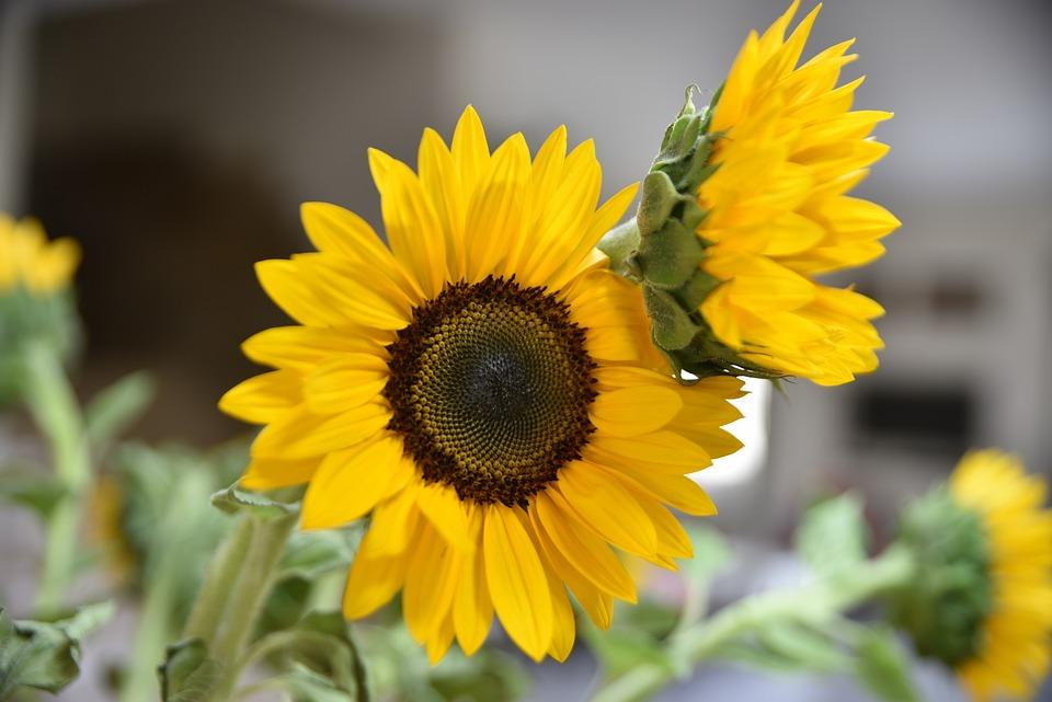 Sun, Sunflower, Flower, Yellow, Nature