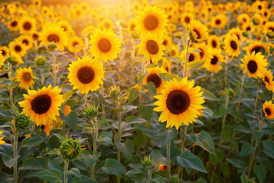 Sunflower, Sunflower Field, Flowers, Summer, Bloom
