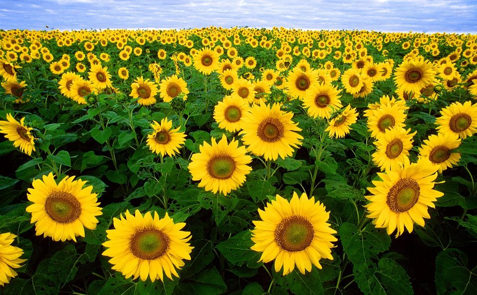 Sunflower, Sunflower Field, Flora, Field, Flowers