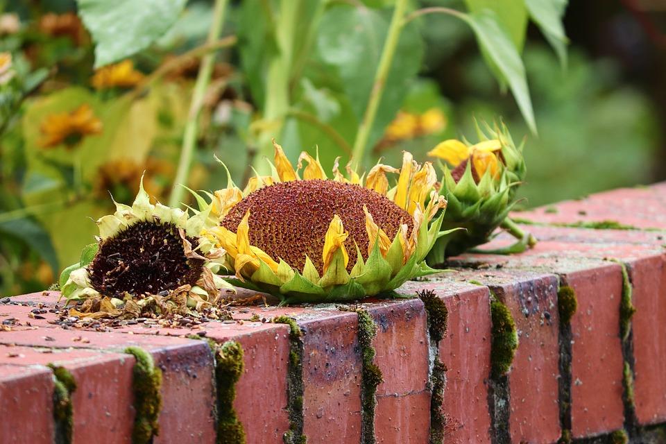 Bird Seed, Food, Sunflower, Sunflower Seeds, Feed