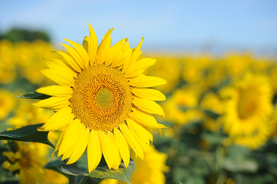 Natural, Sunflower, The Scenery
