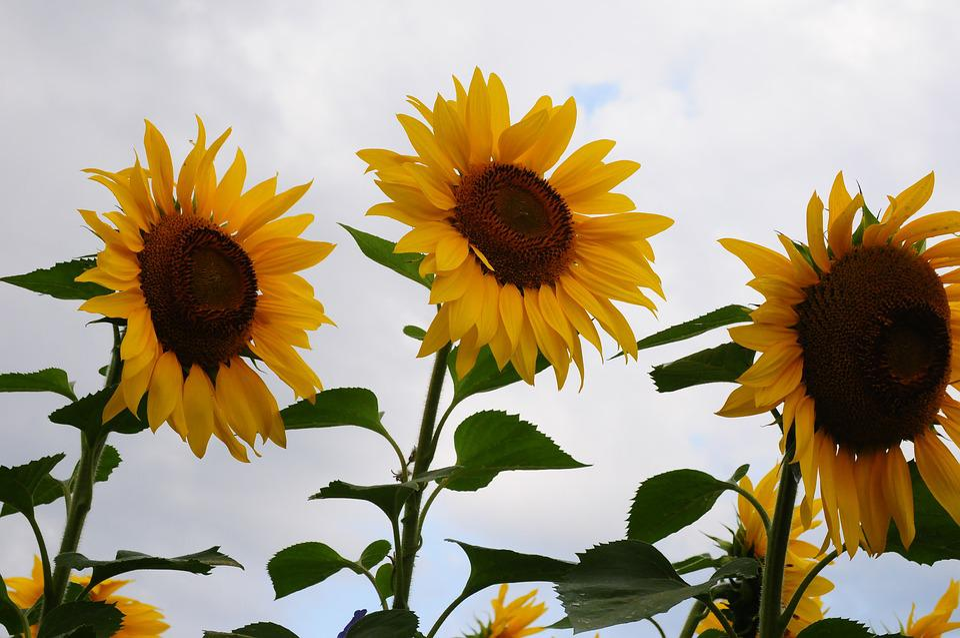 Sunflower, Trio, Cloudy Day