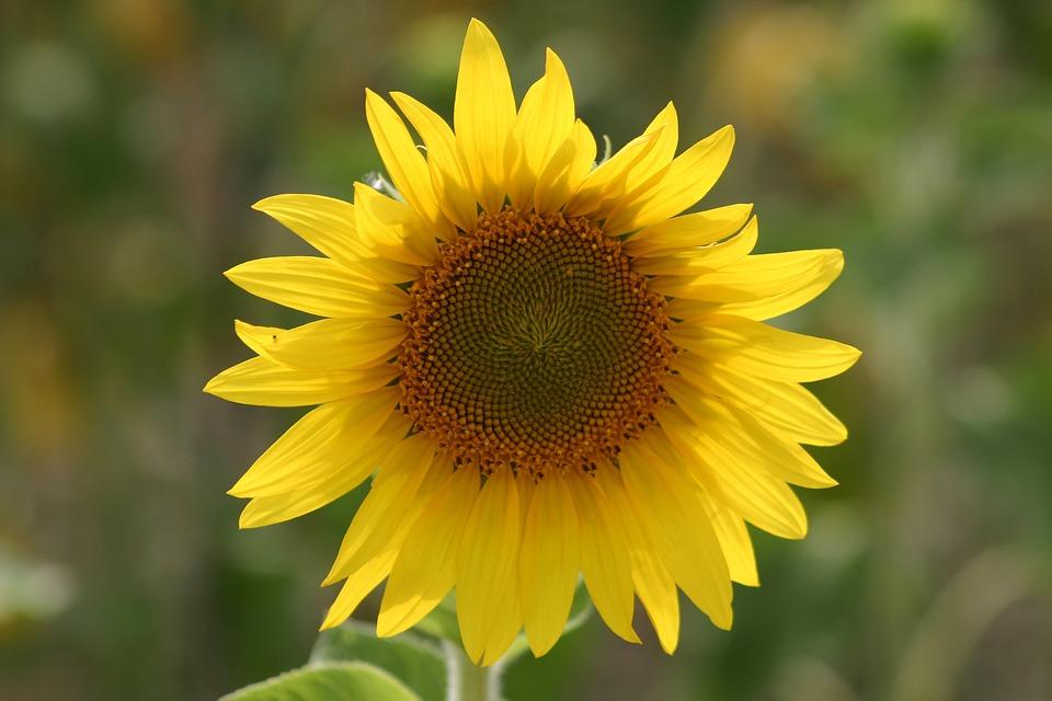Flower, Sunflower, Wildflower, Floral, Plant, Natural