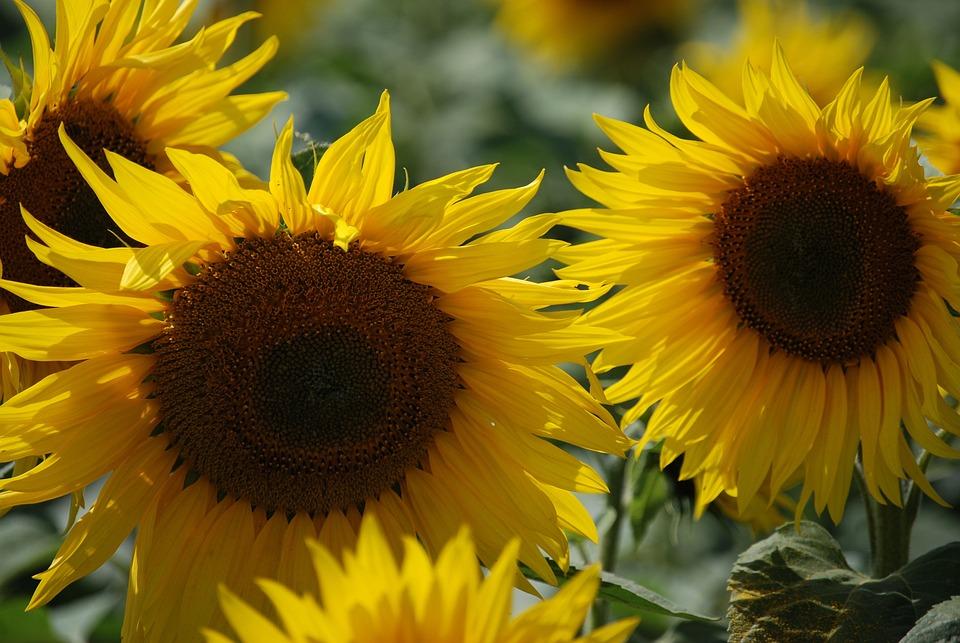 Sunflower, Wildflower, Summer, Flower, Sunflower Seed