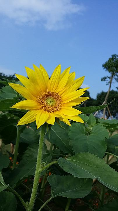 Sunflower, Blue Sky, Yellow