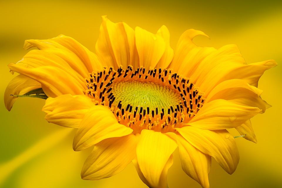 Sunflower, Flower, Yellow Flower, Petals, Yellow Petals