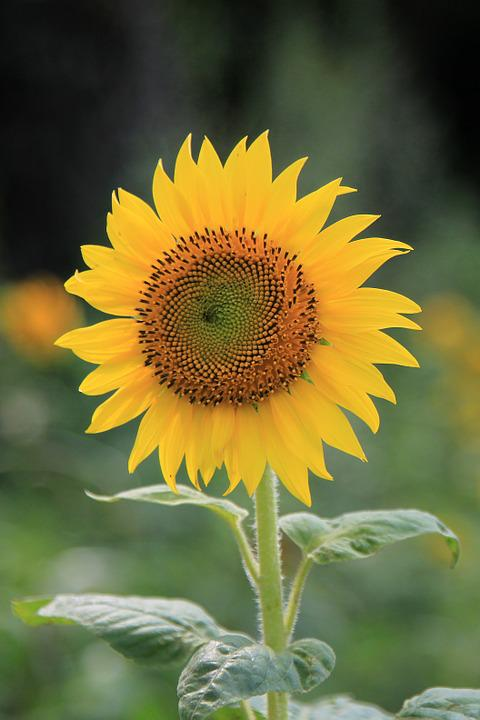 Sunflower, Flower, Yellow, Bloom, Blooming, Plant
