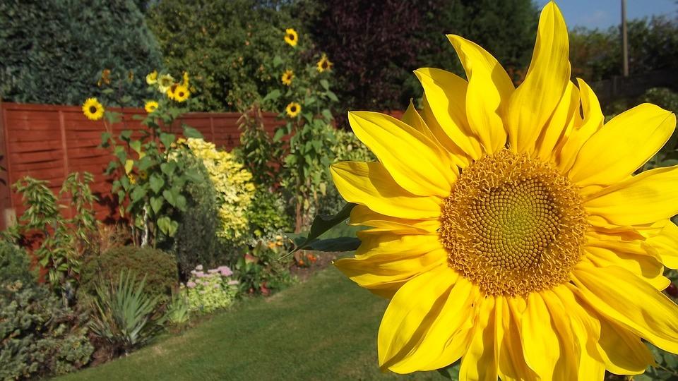 Sunflower, Flower, Summer, Yellow