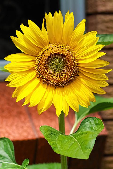 Yellow Flowers, Sunflower, Yellow