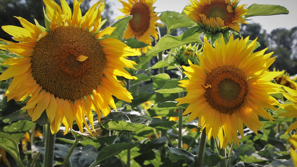 Boost, Clear, Sunflowers, Agriculture, Eco, Sunflower