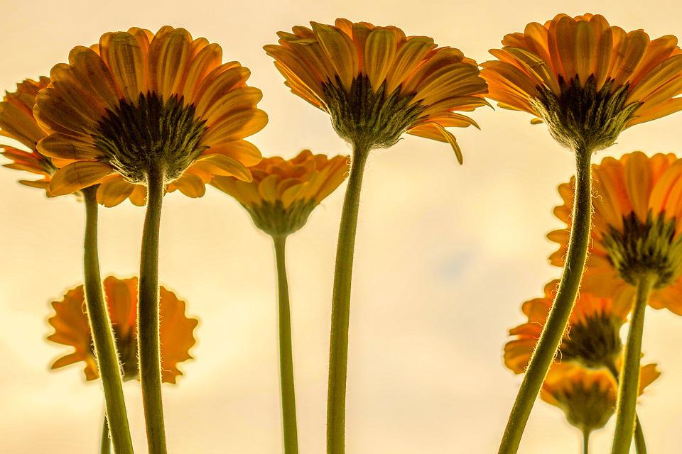 Yellow, Flowers, Sunflowers, Plants, Blossom, Bloom