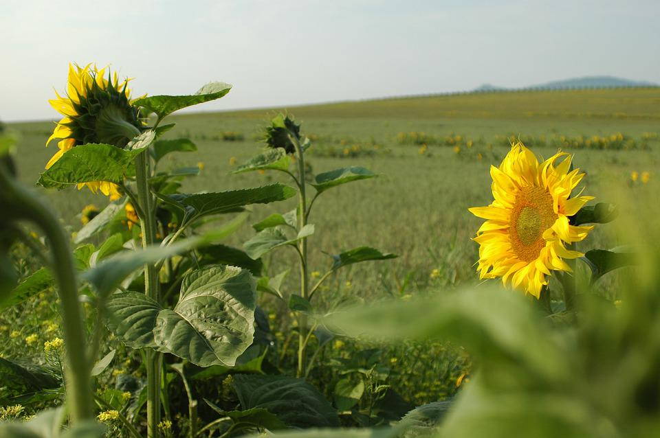 Sunflower, Sunflowers, Field