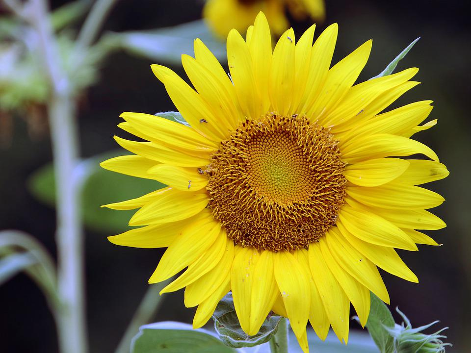 Sunflowers, Sun Flower, Yellow Flowers, Flower, Gold