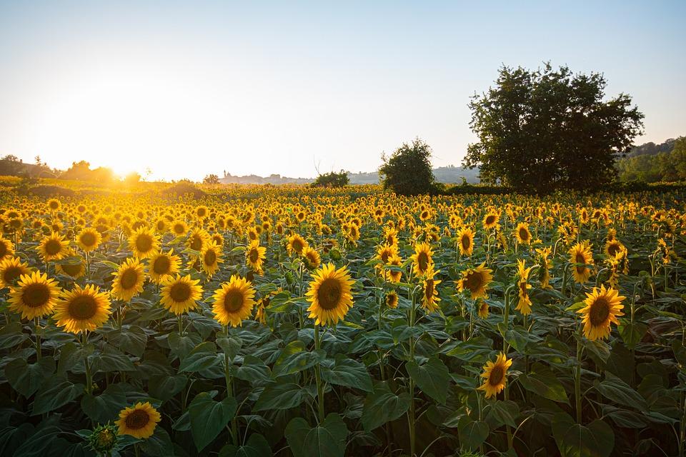 Sunflowers, Field, Sunset, Sun, Sunlight, Flowers