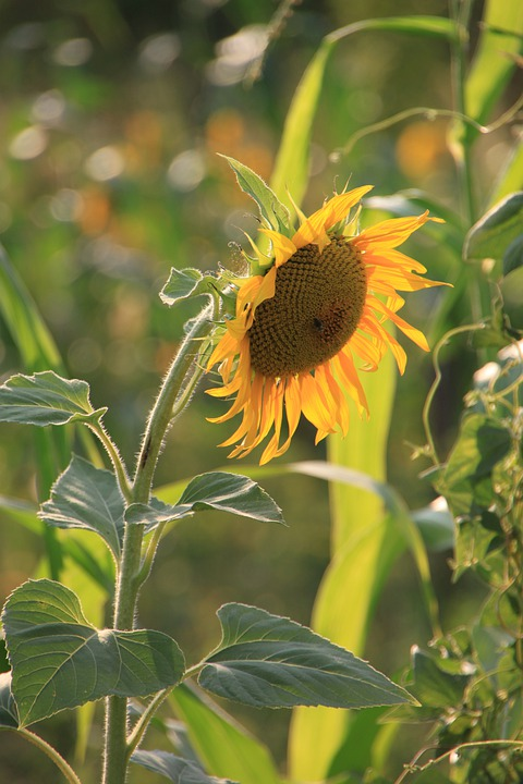 Flowers, Helianthus, Sun, Sunflower, Sunflowers, Yellow