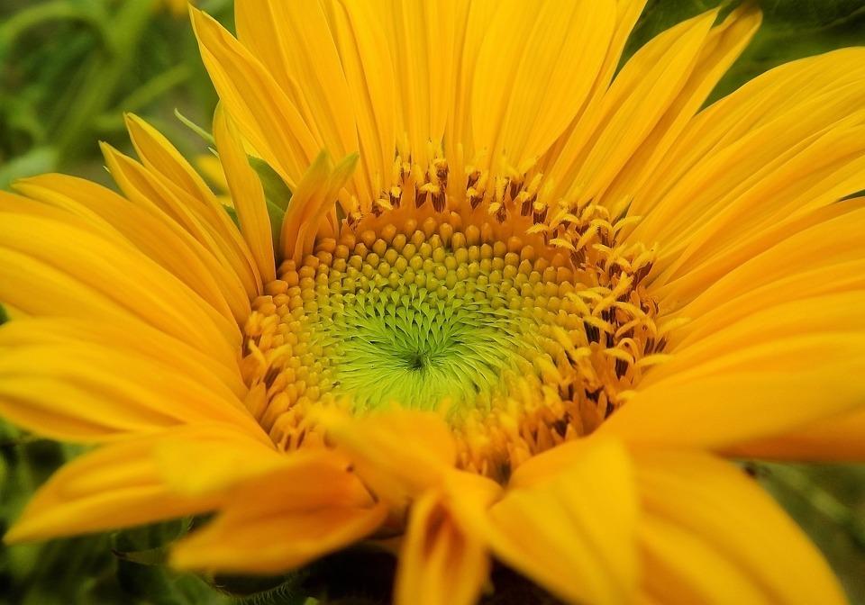 Sunflower, Sunflowers, Flower, Yellow, Summer, Flowers