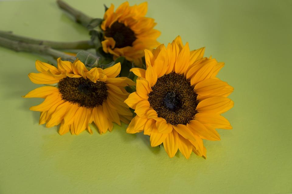 Sunflowers, Sun Flower, Natural, Yellow