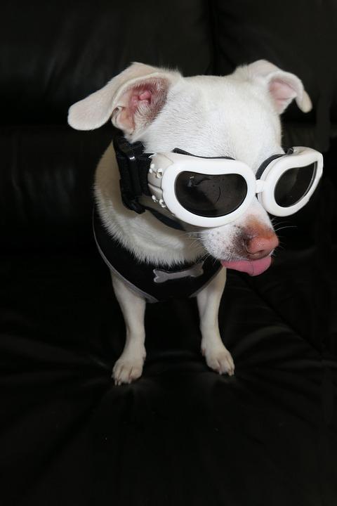 Pet, Chihuahua, Fun, Sunglasses, Dog, Cute