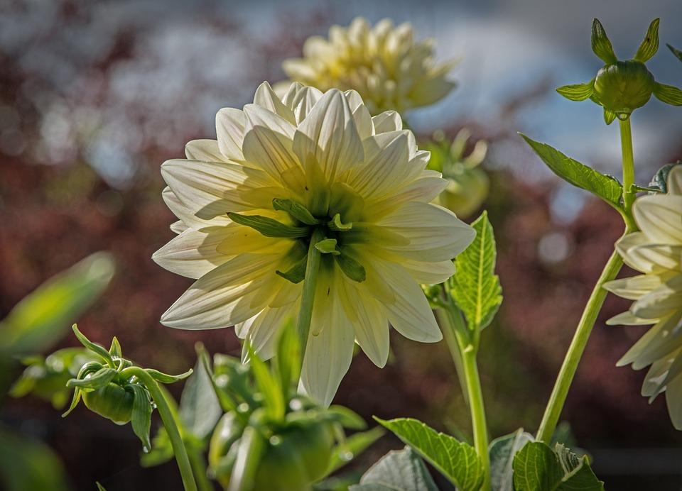 Blossom, Bloom, Dahlia, Sunlight, Flower, Garden