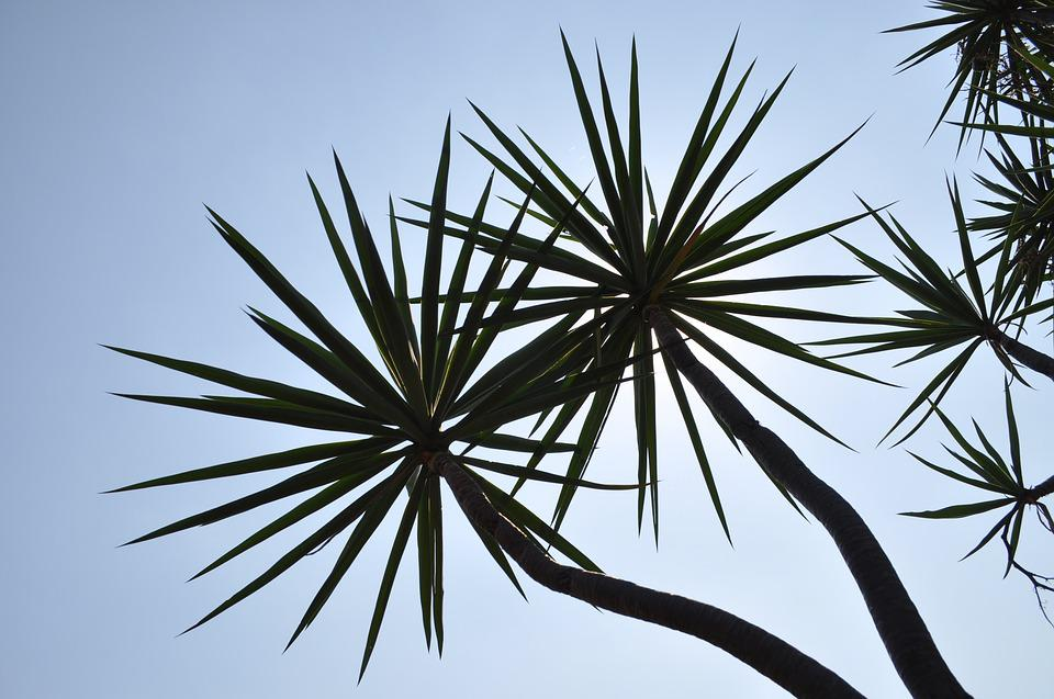 Trees, Sunlight, Natural, Palm, Fky, Look Up
