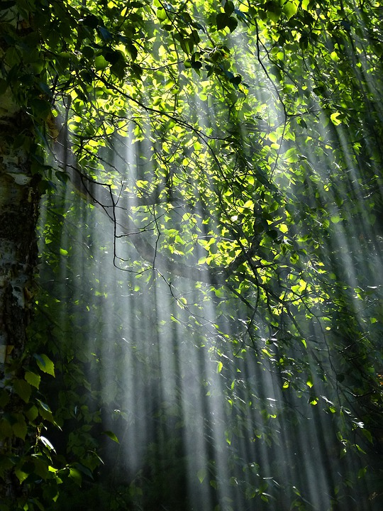 Forest, Sunbeams, Trees, Sunlight, Light, Foliage