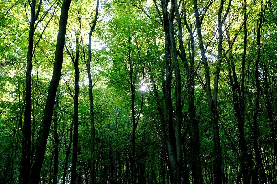 Forest, Trees, Nature, Landscape, Sunlight, Leaves, Log