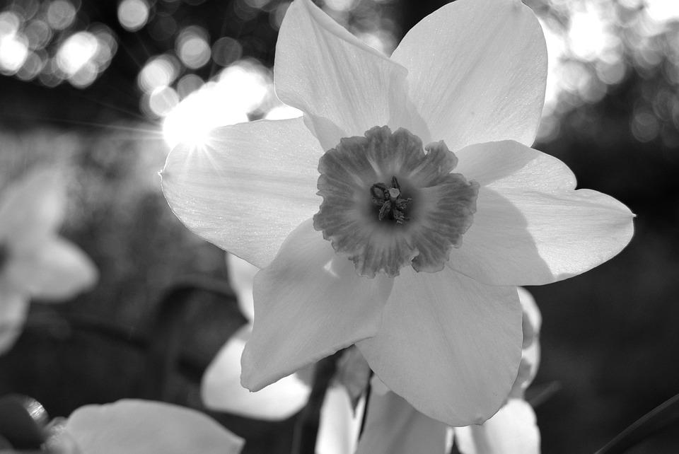 Daffodil, Flower, Nature, Sunlight, Black And White