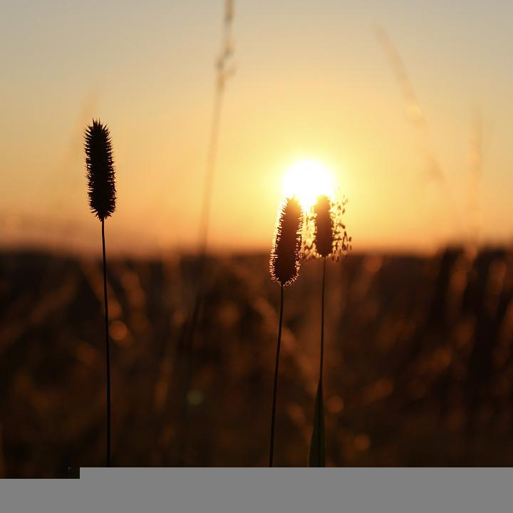 Silhouette, Grass, Sunset, Sunrise, Sun, Sunlight, Reed