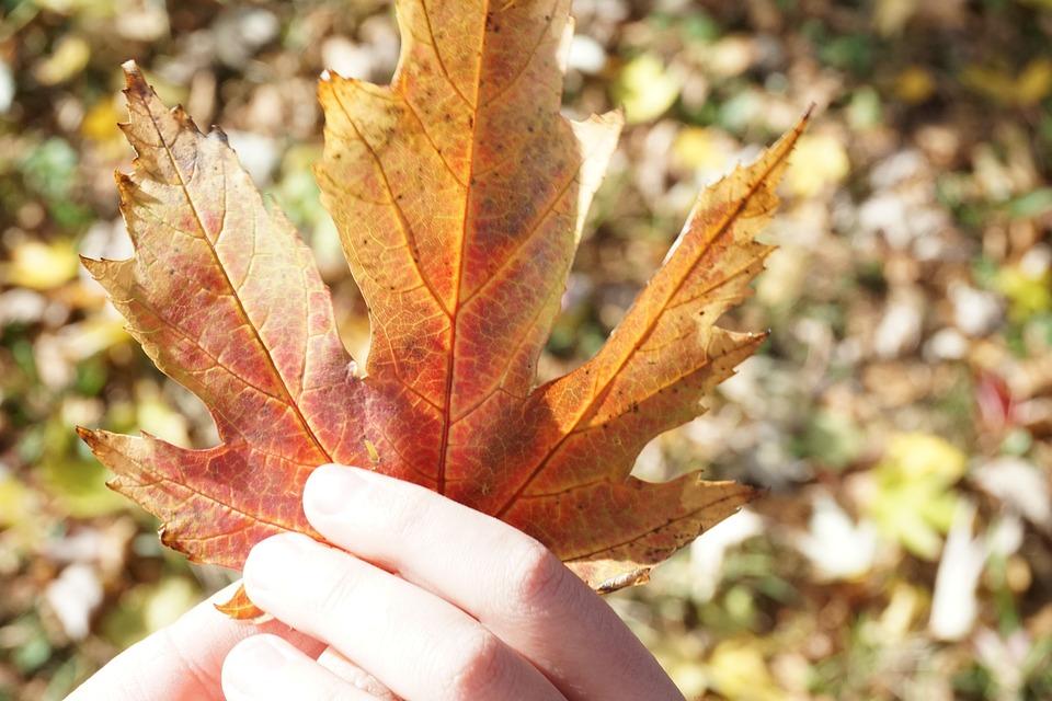 Leaf, Autumn, Golden Autumn, Maple, Hands, Sunny