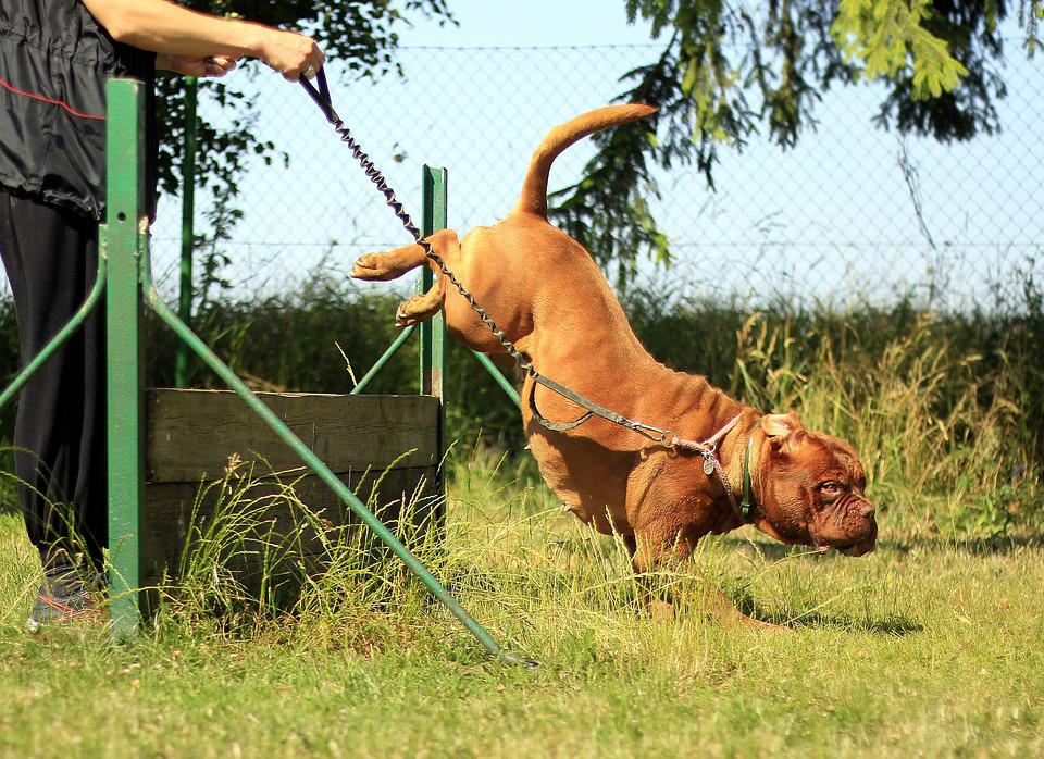 Training, Bordeaux, Mastiff, Dog, Summer, Nature, Sunny