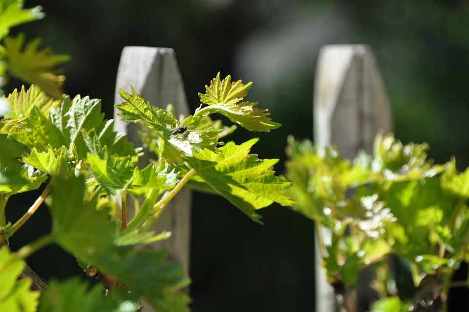 Parra, Vine, Fence, Green, Garden, Sunny, Summer