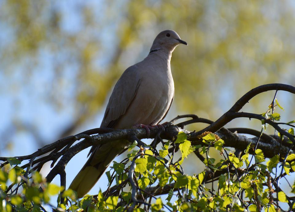 Dove, Grey, Tree, Wildlife Photography, Sunny, Nature
