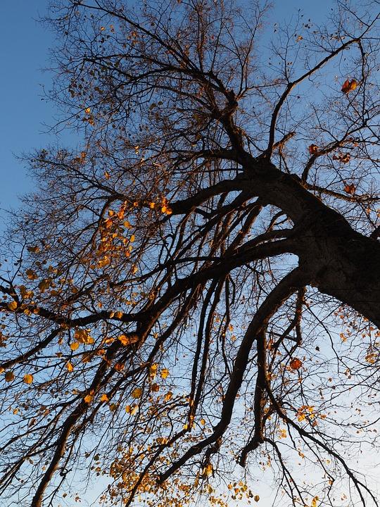 Tree, Autumn, Linde, Lime Tree, Log, Leaves, Sunny
