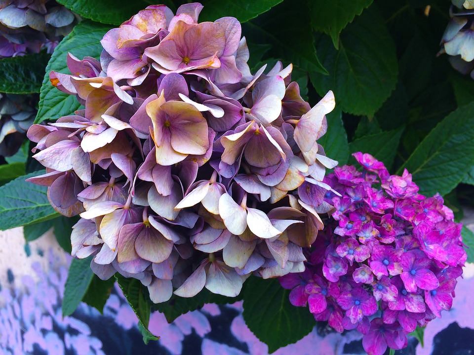 Hydrangea, Sunny, Unusual Color, Craft, Atmosphere