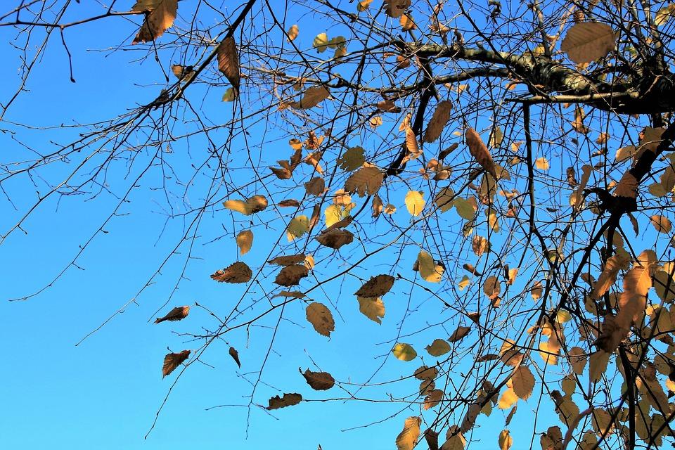 Autumn Gold, Branch, Wind, Sky, Blue, Sunny, Clarity